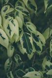 Textura e fundo verdes da folha Feche acima da vista da folha verde O verde deixa o teste padrão Fotografia de Stock
