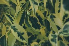 Textura e fundo verdes da folha Feche acima da vista da folha verde O verde deixa o teste padrão Imagens de Stock Royalty Free