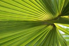 Textura em folha de palmeira Foto de Stock Royalty Free