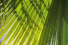 Textura em folha de palmeira Imagem de Stock Royalty Free