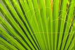 Textura em folha de palmeira bonita Fotografia de Stock