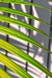 Textura em folha de palmeira bonita Fotografia de Stock Royalty Free