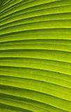 Textura em folha de palmeira verde 01 Fotografia de Stock Royalty Free