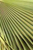 Textura em folha de palmeira verde Fotos de Stock