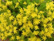 Textura floreciente amarilla del fondo del acre de Sedum imagen de archivo libre de regalías