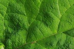 Textura folha verde Fotografia de Stock
