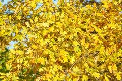 Textura/fondo amarillos de las hojas de otoño imagen de archivo