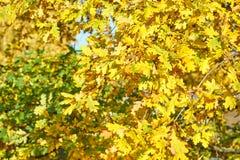 Textura/fondo amarillos de las hojas de otoño fotos de archivo