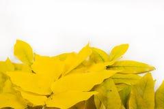 Textura, fondo Autumn Leaves Mandshuricum de Acer (Manchuria imagen de archivo libre de regalías