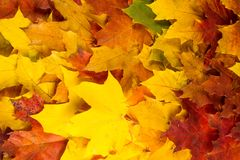 Textura, fondo Sombras amarillas de las hojas de arce del rojo y del oro ilustración del vector