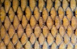 Textura fresca das escalas de peixes da carpa Fotos de Stock