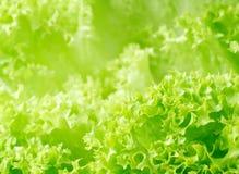 Textura fresca de la lechuga Foto de archivo libre de regalías
