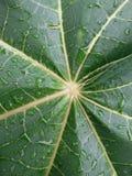 Textura fresca del modelo de la hoja de la papaya Imágenes de archivo libres de regalías