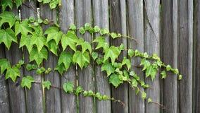 A textura/fundo do verde deixa o crescimento sobre uma cerca de madeira fotos de stock