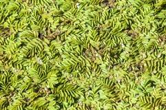 Textura, fundo, vegetação na água Lentilha-d'água na SU imagens de stock royalty free