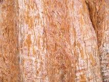 Textura gigantesca del tronco de árbol de pino fotos de archivo libres de regalías