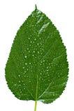 Textura grande da folha da árvore Foto de Stock