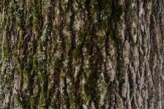 Textura gravada da casca de uma árvore com musgo nele Papel de parede de madeira do teste padrão da textura da árvore Fundo do imagens de stock royalty free
