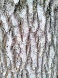 The textura. Grey wood bark drought Royalty Free Stock Image