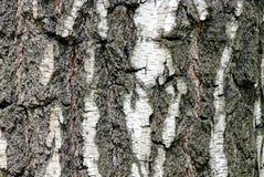 Textura gris blanca de la corteza seca de un árbol de abedul Imágenes de archivo libres de regalías