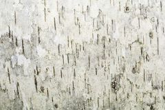 Textura gris de una corteza de abedul húmeda, fondo abstracto Foto de archivo