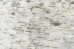 Textura gris de una corteza de abedul húmeda, fondo abstracto Imagen de archivo