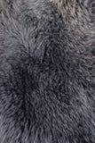 Textura gris o azul de la piel de zorro polar Fotografía de archivo