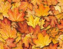 Textura inconsútil con las hojas de arce Imagen de archivo libre de regalías