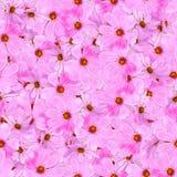 Textura inconsútil del modelo del fondo hecha de la flor fresca del kosmeya Foto de archivo