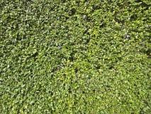 Textura larga do arbusto Imagem de Stock