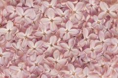 Textura lilás do roxo da pétala Foto de Stock Royalty Free