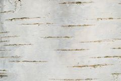 Textura lisa da casca de vidoeiro foto de stock royalty free
