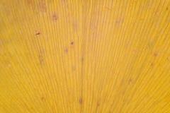 Textura macra de la hoja japonesa del Ginkgo del otoño Imagen de archivo