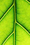Textura macra de la hoja verde Imagen de archivo