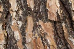 Textura macra de madera Textura del pino Fondo Fotografía de archivo libre de regalías