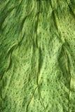 Textura macra del primer de la hoja del verde del árbol de Boj Fotografía de archivo