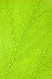 Textura macro do fundo da folha verde Imagens de Stock