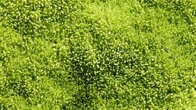 Textura mojada del musgo Imagen de archivo