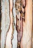 Textura mouldering velha da madeira de carvalho Foto de Stock Royalty Free
