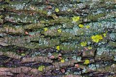 Textura - musgo da casca de árvore Imagens de Stock