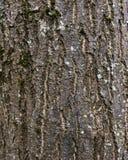 Textura musgoso da casca de árvore Fotos de Stock