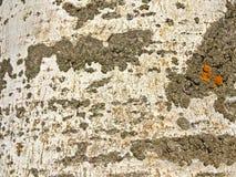 Textura natural de la corteza de un álamo Fotografía de archivo