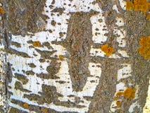 Textura natural de la corteza de un álamo Fotografía de archivo libre de regalías