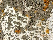 Textura natural de la corteza de un álamo Fotos de archivo libres de regalías