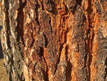 Textura natural de la corteza de un pino Imagen de archivo