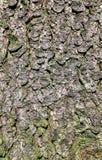 Textura natural de la corteza del pino Imagen de archivo