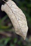 Textura natural de la hoja seca Fotografía de archivo libre de regalías