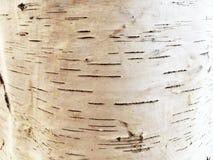 Textura natural del árbol de abedul de la corteza Fotografía de archivo libre de regalías