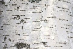Textura natural del abedul Imagen de archivo libre de regalías