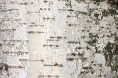 Textura natural del abedul Imagenes de archivo